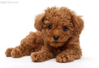 沈阳阿布宠物店出售泰迪