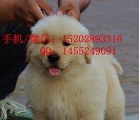 重庆哪里有金毛犬卖 重庆的金