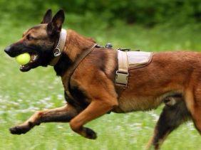 精品纯种马犬 保健康 延安哪里有卖马犬的