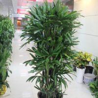 租摆植物棕竹