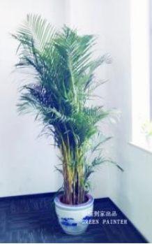 散尾竹 办公室绿植