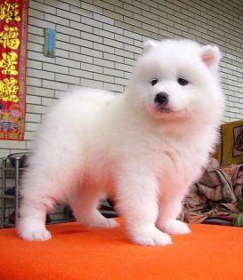 宁波出售纯种萨摩耶微笑天使萨摩耶幼犬澳版熊版萨摩耶