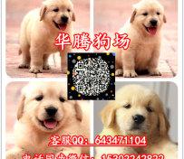 纯种金毛犬出售导盲犬金毛幼犬