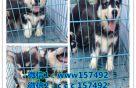 湖南大型养狗基地三十个品种 欢迎上门 支持送货到家