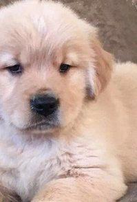 杭州本地出售狗狗金毛等二十多种宠物狗300元起售包健康签协议