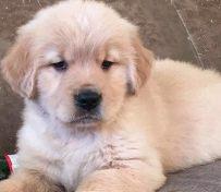 杭州本地出售狗狗金毛等二十多
