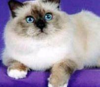 暹罗猫怎么养 幼猫的饲养方法