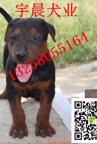 哪里有卖大骨架的苏联红犬幼犬的小苏联红犬价格图片