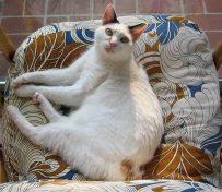 日本短尾猫