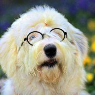 英国牧羊犬