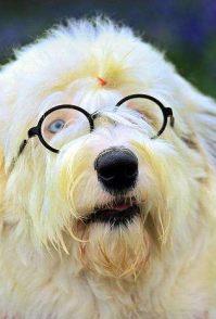 纯种萨摩耶犬的特点 纯种萨摩耶犬的外表特征