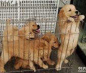 成都金毛等二十多种宠物狗 500元 起售