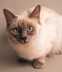莆田蓝猫 金吉拉 虎斑 布偶 英短 美短 暹罗猫 包纯种健康