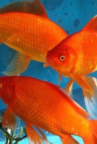 红草观赏鱼