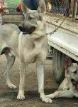 赛级马犬出售双血统带证书疫苗驱虫已做完保健康可视频