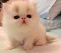 波斯猫-大连萌猫