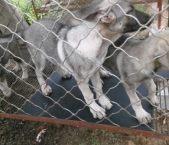 牧羊犬幼犬成都哪里有卖的纯种牧羊犬幼犬什么地方有卖的