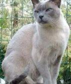 宜春苏格兰折耳 波斯 梵花 渐层 豹猫 加白 起司包纯种健康