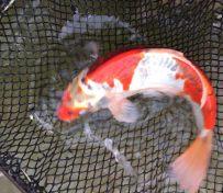 观赏鱼锦鲤