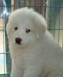 大型犬巨型大白熊出售 大白熊大骨架看家护院