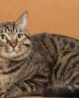 宠物猫和家猫的区别 宠物猫是纯种宠物猫