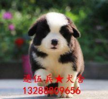 出售边牧幼犬 品质保障