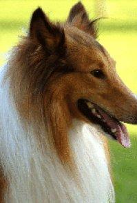 合肥宠物狗专卖店出售苏格兰牧羊犬