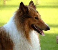 合肥宠物狗专卖店出售苏格兰牧