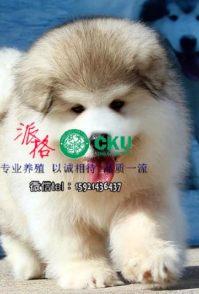 重庆哪里有卖纯种阿拉斯加幼犬 阿拉斯加幼犬多少钱价格,阿拉斯