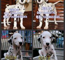 深圳宝安区哪里有卖大麦犬 深圳福田区哪里有卖宠物狗