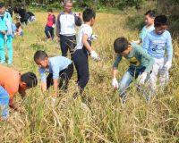 深圳农家乐亲子秋游哪里可以挖红薯、挖莲藕、割稻谷?