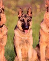 武汉哪里有德国牧羊犬