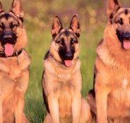 上海狗场解散 比熊等二十多种宠物狗 500元 起售