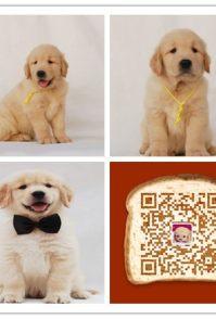时尚萌宠十多年的养殖经验 养殖纯种金毛幼犬