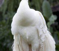 优质蓝 白孔雀 商品孔雀 青