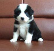 上海狗场解散 博美等二十多种宠物狗 500元 起售