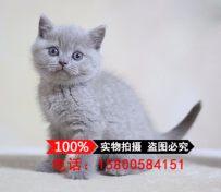 蓝猫活体 英短蓝猫 蓝猫宠