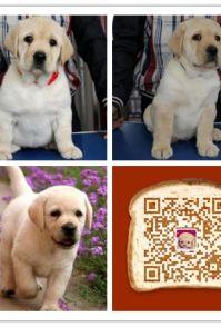 时尚萌宠十多年的养殖经验 养殖纯种拉布拉多幼犬