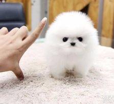 广州哪里有卖博美犬广州哪里的宠物狗最好 推荐宠物狗犬舍