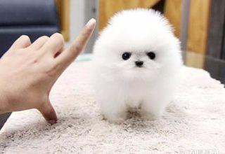 南昌宠物专卖店出售博美犬