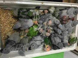 北京鹦鹉养殖基地出售