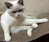 重点色短毛猫