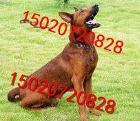 一对纯种莱州红犬多少钱 莱州