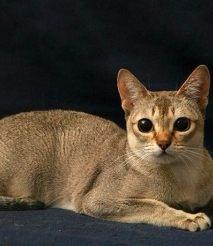 揭阳蓝猫 金吉拉 虎斑 布偶 英短 美短 暹罗猫 包纯种健康
