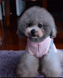 小型犬灰泰迪出售 茶杯灰色泰迪价格便宜 纯种健康