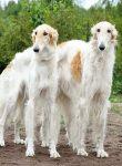 苏俄猎狼哪个好 苏俄猎狼犬的外型特征挑选