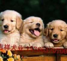 纯种血统金毛犬 金毛价格 金毛幼犬哪里有卖的
