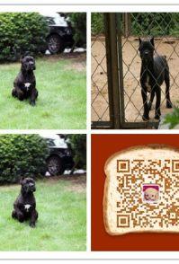 时尚萌宠十多年的养殖经验 养殖纯种卡斯罗幼犬