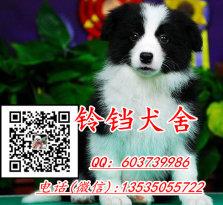 广州哪里有卖边境牧羊犬