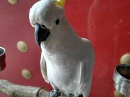 北京灰鹦鹉出售